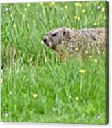Groundhog In A Field Of Flowers Acrylic Print