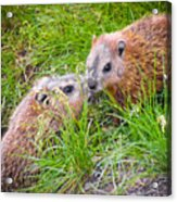 Groundhog Mother Love Acrylic Print