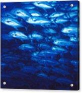 Group Of Bigeye Jacks Swimming By Acrylic Print