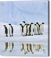 Group Of Emperor Penguins Acrylic Print