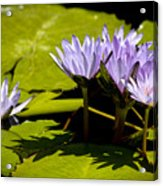 Group Of Lavender Lillies Acrylic Print