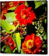 Group Of Small Red Zinnia's Acrylic Print