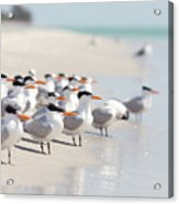 Group Of Terns On Sandy Beach Acrylic Print by Angela Auclair