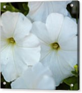 Group Of White Flowers Acrylic Print