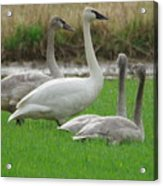 Group Of Young Swans Acrylic Print