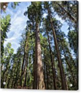 Grove Of Big Trees Acrylic Print