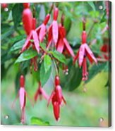 Growing In Red And Purple Acrylic Print