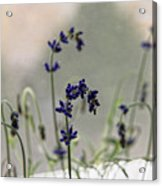 Growing Lavender Vase Acrylic Print