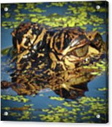 Growing Up Gator, No. 33 Acrylic Print