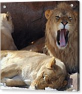 Growling Male Lion In Den With Two Females Acrylic Print