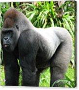 Grumpy Gorilla II Acrylic Print