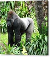 Grumpy Gorilla IIi Acrylic Print