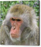 Grumpy Monkey Acrylic Print