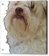 Grumpy Terrier Dog Face Acrylic Print