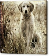 Grunge Puppy Acrylic Print by Meirion Matthias