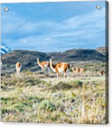 Guanaco In Patagonia Acrylic Print