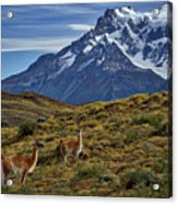 Guanacos In Patagonia Acrylic Print