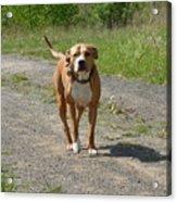 Guarding Pit Bull Dog Acrylic Print