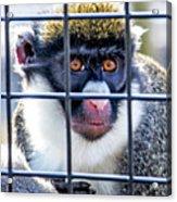 Guenon Monkey Acrylic Print
