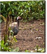 Guinea Fowl 1 Acrylic Print