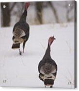 Guinea Fowl In The Snow Near Burwell Acrylic Print
