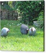 Guinea Hens Acrylic Print