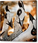 Guineafowl Family Acrylic Print