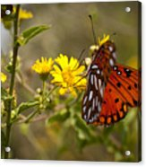 Gulf Fritillary Agraulis Vanillae Red Butterfly Acrylic Print