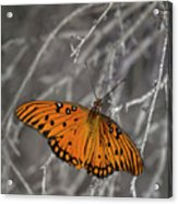 Gulf Fritillary Butterfly In The Brambles Acrylic Print
