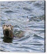 Gulf Islands Otter Acrylic Print
