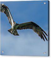 Gulf Osprey Acrylic Print