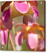 Gulf Purple Pitcher Plant Acrylic Print