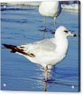Gull - Beach -reflection Acrylic Print
