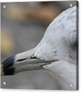 Gull Eye Acrylic Print