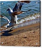 Gull Fight Acrylic Print by Amanda Struz