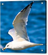 Gull Flying Acrylic Print