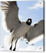Gull In Flight Acrylic Print