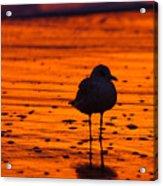 Gull Caught At Sunrise Acrylic Print