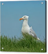 Gull Lookout Acrylic Print