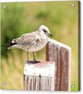 Gull On A Post Acrylic Print