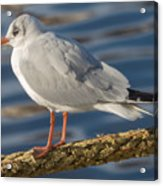 Gull On A Rope Acrylic Print