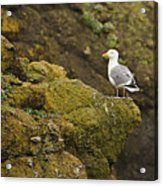 Gull On Cliff Edge Acrylic Print