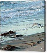 Gull Over Tybee Island Beach Acrylic Print