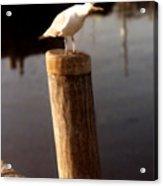 Gull Warning Acrylic Print