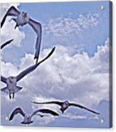 Gulls Will Be Gulls Acrylic Print