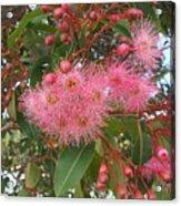 Gum Blossom Acrylic Print