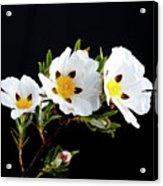 Gum Rockrose - Cistus Ladanifer In Portugal Acrylic Print