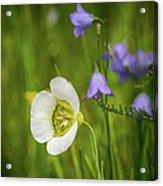 Gunnison's Mariposa Lily Acrylic Print