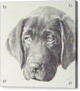 Gus - Chocolate Lab Pup Acrylic Print