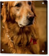 Gus Hoping To Share Some Bacon 3547v Acrylic Print
